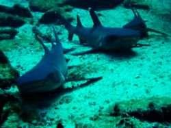 קוסטה ריקה: כרישים באי קוקוס
