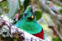 גואטמלה: ציפור הקצאל