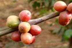 קפה תוצרת לאוס