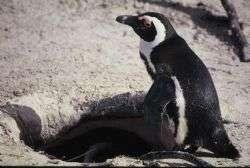 פינגווינים ויענים בדרום אפריקה
