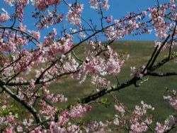 האביב ופריחת הדובדבן
