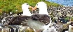 איי פוקלנד Falkland