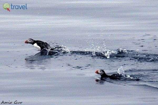תוכיי ים מתוקים, מתחרים זה בזה (צילום: אמיר גור)
