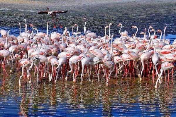 להקת פלמינגו בשמורת הטבע ראס אל חור (צילום: Iwona Rege)