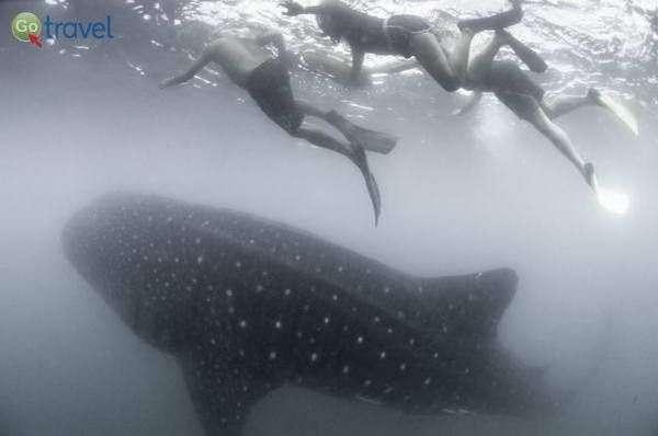 מפגש עם כרישי לווייתן  (צילום: אורי מגנוס)
