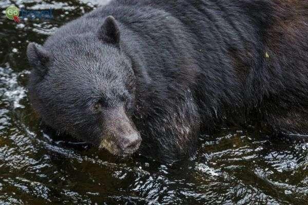 דובים בנהר - גם הם בעקבות נדידת הסלמון (צילום: רענן גבאי)