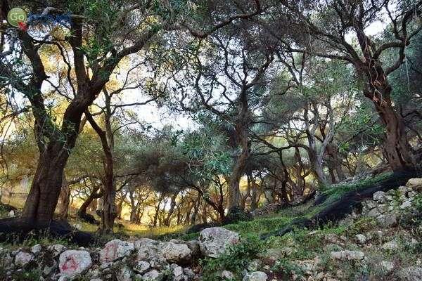 מטעי זיתים ציוריים מכסים את מורדות ההרים  (צילום: כרמית וייס)