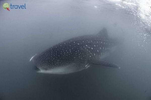 כריש לווייתן פוער את לועו העצום  (צילום: אורי מגנוס)