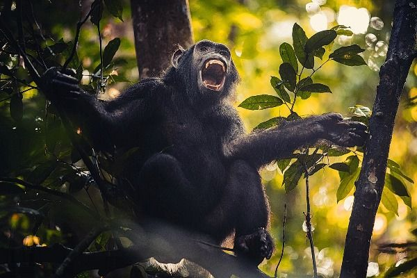 משחקים תופסת עם השימפנזים ביער ניונגווה (צילום: דן ליאור)