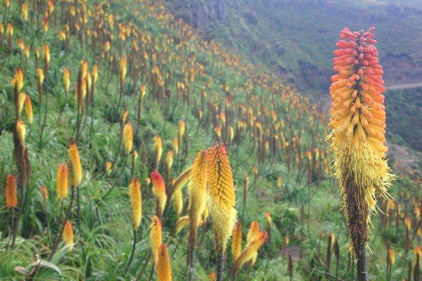 מראה נפוץ של מרבד פרחי שושן הלפיד על צלע הר (צילום: Leonard A. Floyd)