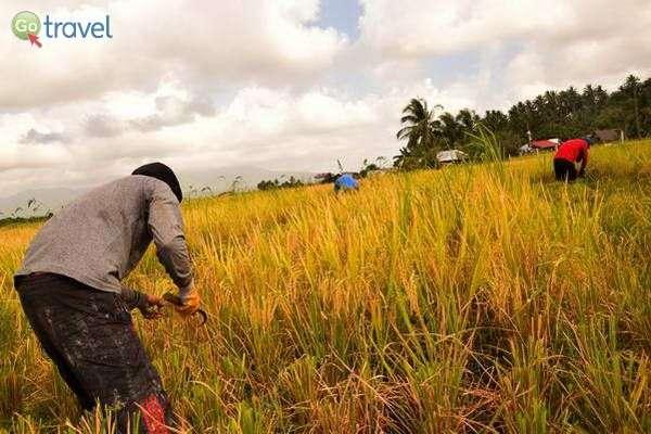 מפגש עם הקוצרים בשדות האורז  (צילום: כרמית וייס)