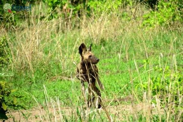 זאב טלוא משוטט חופשי בשמורה (צילום: פרץ גלעדי)