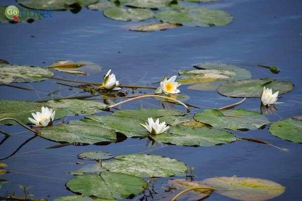 שושנת מים בנהר למרגלות טירת רודונדוואריס    (צילום: כרמית וייס)