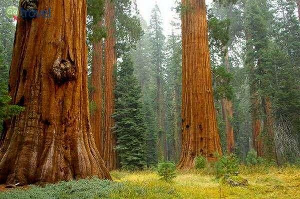 עצי סקויה בחורשת מריפוסה  (צילום: jenkinson2455)