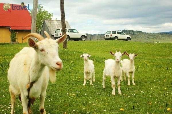 העיזים באו לבדוק מי הזיז את העשב שלהם  (צילום: גלעד תלם)