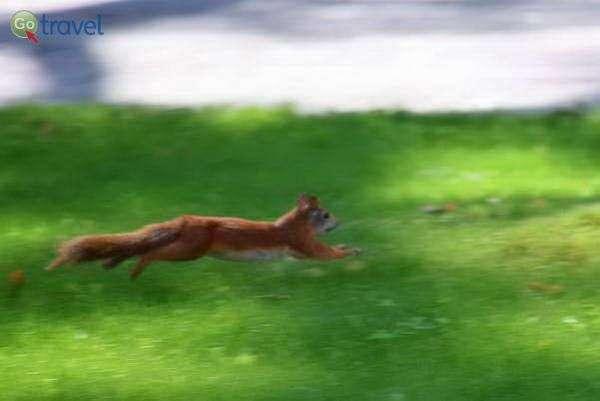 סנאי על הדשא מול המלון  (צילום: כרמית וייס)