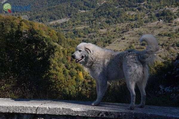 כלב הרועים של אברוצו  (צילום: הילה וייס טישלר)