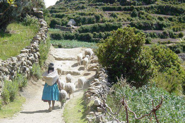 עדר כבשים ורועה באי השמש (צילום: Adam Jones)