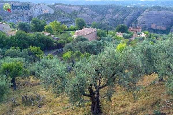 עצי זית מהם מפיקים שמן זית איכותי  (צילום: ירדן גור)