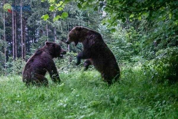 מלחמת הדובים  (צילום: נורית פרח)