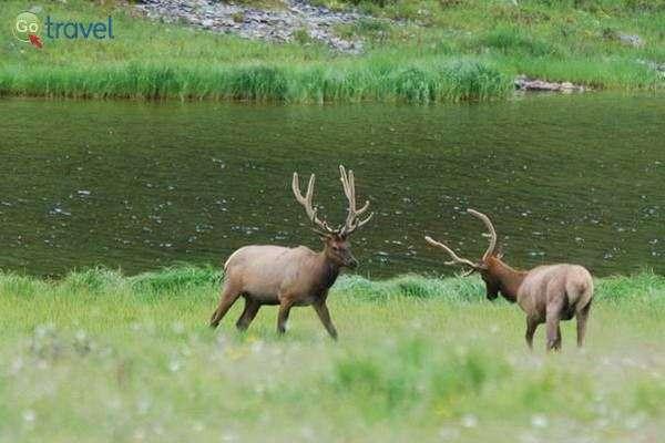איילים במעבר ההרים מילנר  (צילום: Steve Voght)