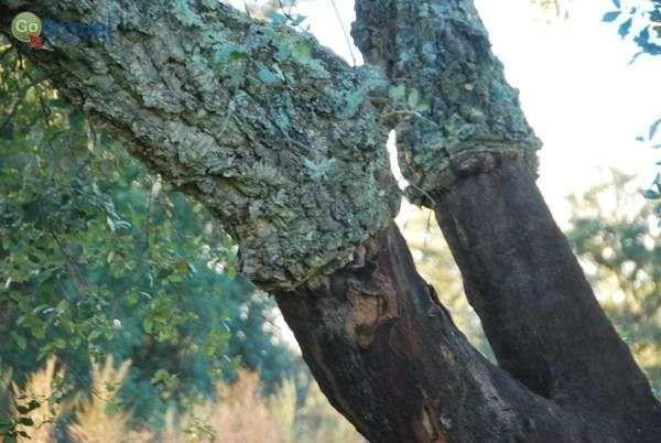 קילוף עצי אלון השעם אחת ל- 9 שנים  (צילום: כרמית וייס)