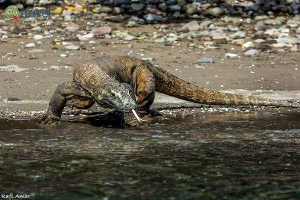 דרקון קומודו - הלטאה הגדולה ביותר בעולם, באינדונזיה (צילום: רפי עמר)