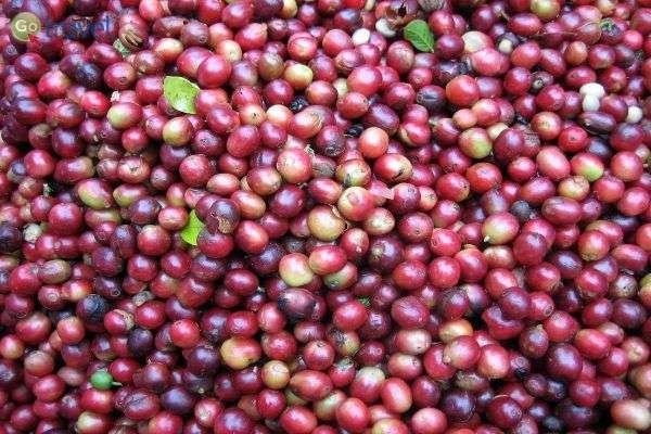 הקפה של לאוס - מיוצא לכל רחבי תבל (צילום: Prince Roy)