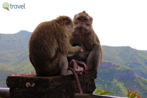 קופים ביערות שאמרל  (צילום: עמית אופיר)