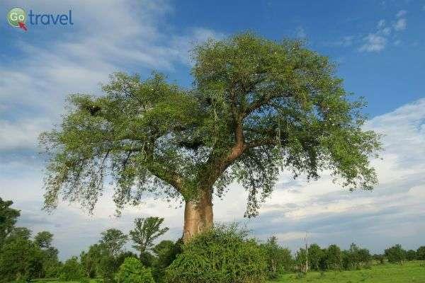 עץ באובב - יפה וקדוש (צילום: פרץ גלעדי)