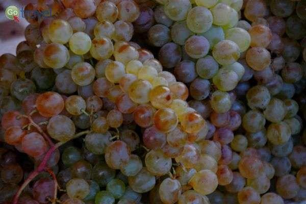 """הגפנים עמוסות הענבים משתרגות בכל גינה (צילום: ד""""ר רמי דברת)"""
