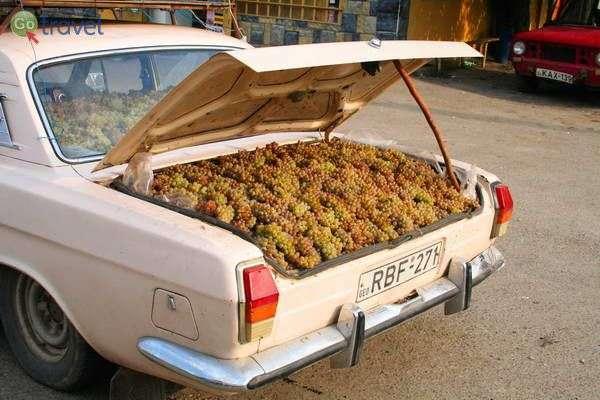 ענבים להכנת ספארווי - יין צעיר גאורגי (צילום גלעד תלם)