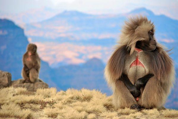 בבוני ג'לאדה - הסמל של פארק הרי סימיאן (צילום: shaylib)