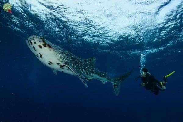מפגש מהנה עם כריש לווייתן (צילום: איציק יוגב)
