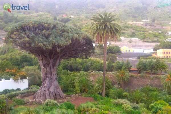 """""""עץ הדרקון"""" הגדול ביותר בעולם (צילום: נעם סלע)"""