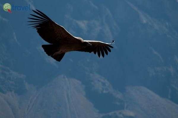 קונדור מרחף מעל קניון קולקה  (צילום: unhappy by design)