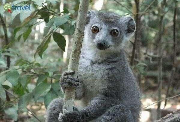למור במדגסקר, גודלו כשל חתול והוא חי על עצים  (צילום:  Frontierofficial )