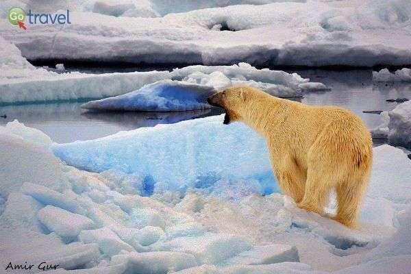 דוב קוטב מחפש ארוחת צהריים... (צילום: אמיר גור)