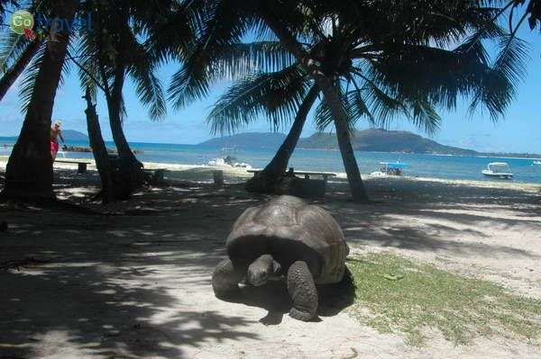 צבי הענק של סיישל - הריכוז הגדול בעולם  (צילום: רמי דברת)