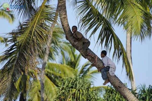 מי שרוצה לאכול קוקוס צריך ללמוד לטפס על עצים... (צילום: תמי סומברג)