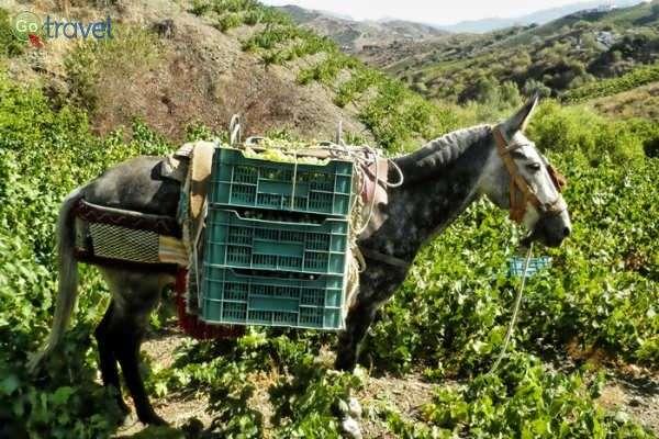 בציר הענבים בדרך אל השוק (צילום באדיבות: שירה לבל)