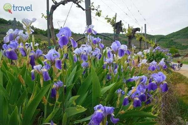 חגיגה אביבית בכרמים של עמק ואכאו  (צילום: כרמית וייס)