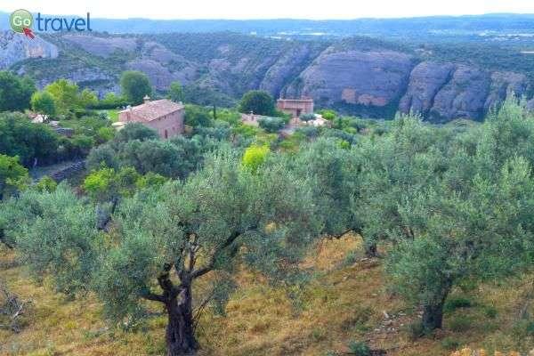 האזור עשיר בעצי זית מהם מכינים שמן זית משובח! (צילום: ירדן גור)
