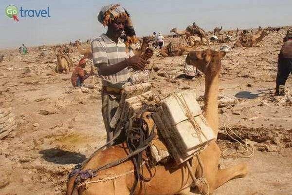 מעמיסים את קוביות המלח על גמלים  (צילום: ציפי סרן)