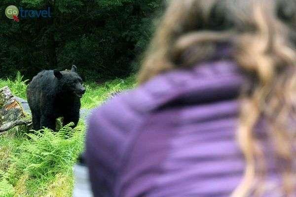 דוב שחור במרחק נגיעה... (צילום: עופר גלמונד)