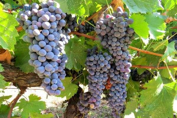 כשהענבים נראים כך - הגיע הזמן לחגיגת הבציר (צילום: ירדן גור)