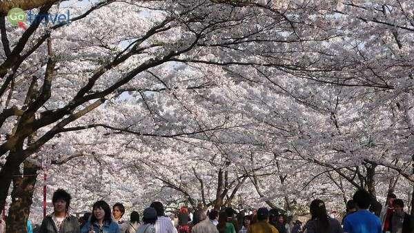פריחת הדובדבן באביב של מוריאוקה   (צילום: yisris)