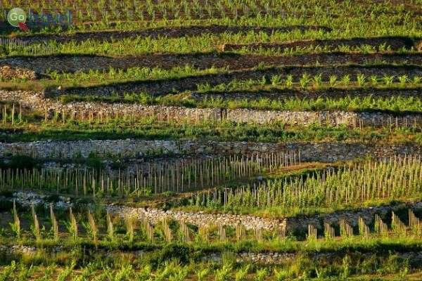 כרמים ממלאים את הנוף, עד האופק (צילום: Barta Winery)