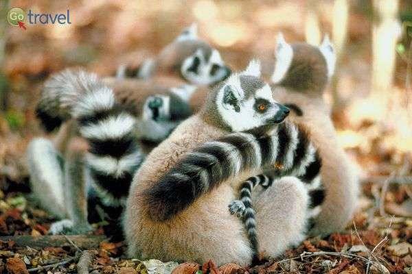 באי מדגסקר חיים 22 מיני למורים (צילום: באדיבות החברה הגיאוגרפית)
