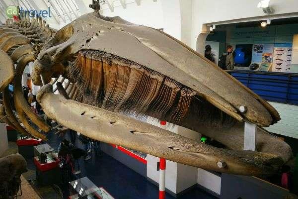 ראש לווייתן מרשים במוזיאון הטבע (צילום: ירדן גור)